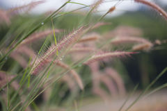Stalks of grass on the nature. Beautiful background Royalty Free Stock Photos
