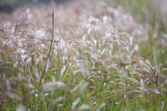 Stalks of grass on the nature. Beautiful background Royalty Free Stock Image