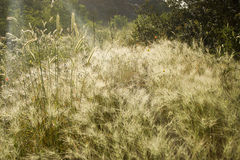 Stalks of grass in the sun Royalty Free Stock Photo