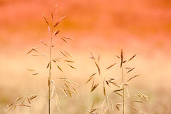 Stalks of Grass Stock Image