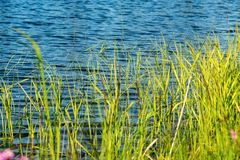 Stalks of a green grass on background blue lake Stock Photo