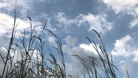 Stalks of green grass, blades. Fluttering blades, Swaying at the Wind, on blue sky background, outdoors, summer, daytime clouds stock video