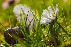 Daisy among the blades of grass royalty free stock images