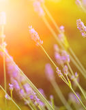 Stalks of lavender outdoor against evening sun Royalty Free Stock Image