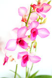 Stalks of magenta outdoor orchids Stock Photo