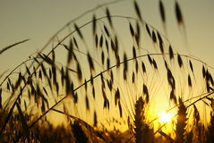 Stalks of oats. Grain field full of oats Royalty Free Stock Images