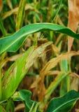 Stalks of ripe corn Royalty Free Stock Photography