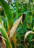 Stalks of ripe corn Royalty Free Stock Photos