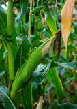 Stalks of ripe corn Stock Images