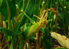 Stalks of ripe corn Stock Image