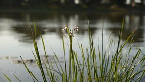 Spikelets of green grass and flowers swaying in the wind on a sea background. Stalks of river reeds sway with the wind in the river, close-up. End of summer stock video footage