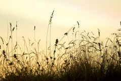 Stalks silhouette. D against the sky at the sunset stock photography
