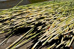Stalks of the sorghum plant. Stalks of mature sorghum are ready to be placed into a press where the sweet liquid is extracted Stock Image
