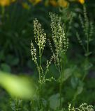 Stalks of sorrel with seeds and green leaves. On a summer day stock images