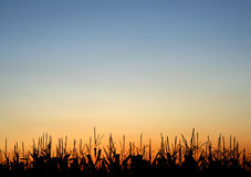 Stalks at Sunset Royalty Free Stock Photography