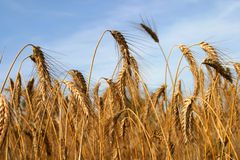 Stalks of Wheat stock photography