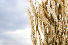 Stalks of Wheat Royalty Free Stock Photos