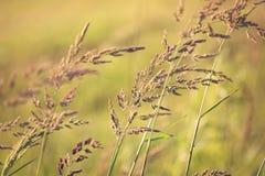 Stalks of wild native grassess. Several stalks of wild native grasses, close up for background Royalty Free Stock Photo