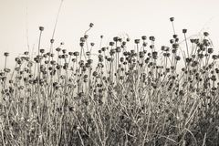Stalks wild plants with dry of buds flowers Stock Images