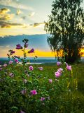 Blooming mallow at dawn. Stalks of wild red mallow on the background of birch and illuminated sky of the rising sun on the horizon royalty free stock image