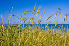 Stalks of young wheat. Against blue sky Royalty Free Stock Photography