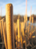 Stalks3 Royalty Free Stock Photos