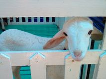 Stall goat. Wooden painted white Stock Image