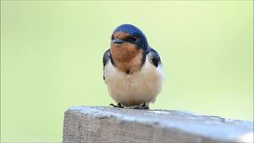 Stall-Schwalbe (Hirundo rustica) stock video footage