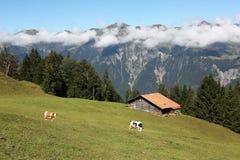 Stalla con due mucche nelle alpi nel Bernese Oberland, Svizzera Fotografia Stock Libera da Diritti