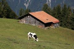 Stalla con la mucca nelle alpi nel Bernese Oberland, Svizzera Fotografie Stock Libere da Diritti
