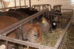 Stalla dei vitelli Fotografia Stock Libera da Diritti