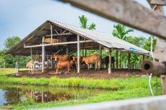 Stalla della mucca Immagine Stock Libera da Diritti