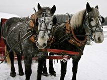 Stalliion & Mare. Stallion & Mare team ready for a sleigh ride Royalty Free Stock Image