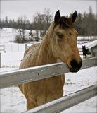 Stalliion & Mare. Stallion & Mare team ready for a sleigh ride Stock Photography