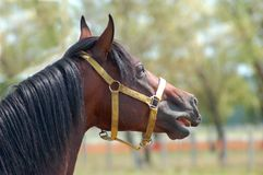 Stallion Royalty Free Stock Image