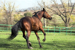 Stallion. Brown stallion at full gallop Royalty Free Stock Image