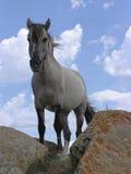 Stallion Lizenzfreie Stockfotografie