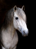 Stallion Royalty Free Stock Photo