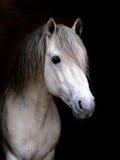Stallion Lizenzfreies Stockfoto