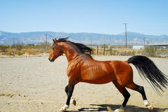 Stallion-2 stock image