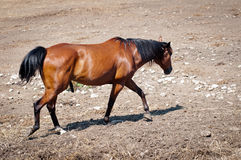 Stallion Immagine Stock