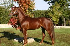 Stallion. Sorrel Stallion in the fall standing by changing trees Royalty Free Stock Photography