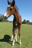 stallion Immagini Stock Libere da Diritti