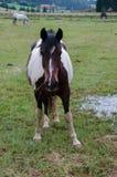 stallion Royalty-vrije Stock Foto's
