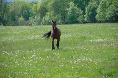stallion Fotografia Stock