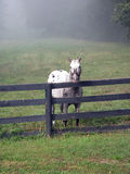 Stallion against fence Stock Image