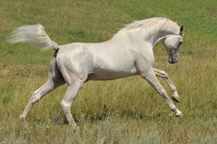 Stallion arabian white horse running wild. Full body of a stallion arabian white horse running wild on the farm outdoors Stock Photo
