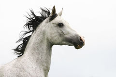 Stallion arabo Immagine Stock Libera da Diritti