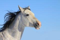 Stallion arabo Fotografie Stock Libere da Diritti