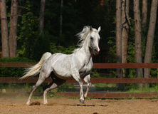 Stallion arabo Immagine Stock